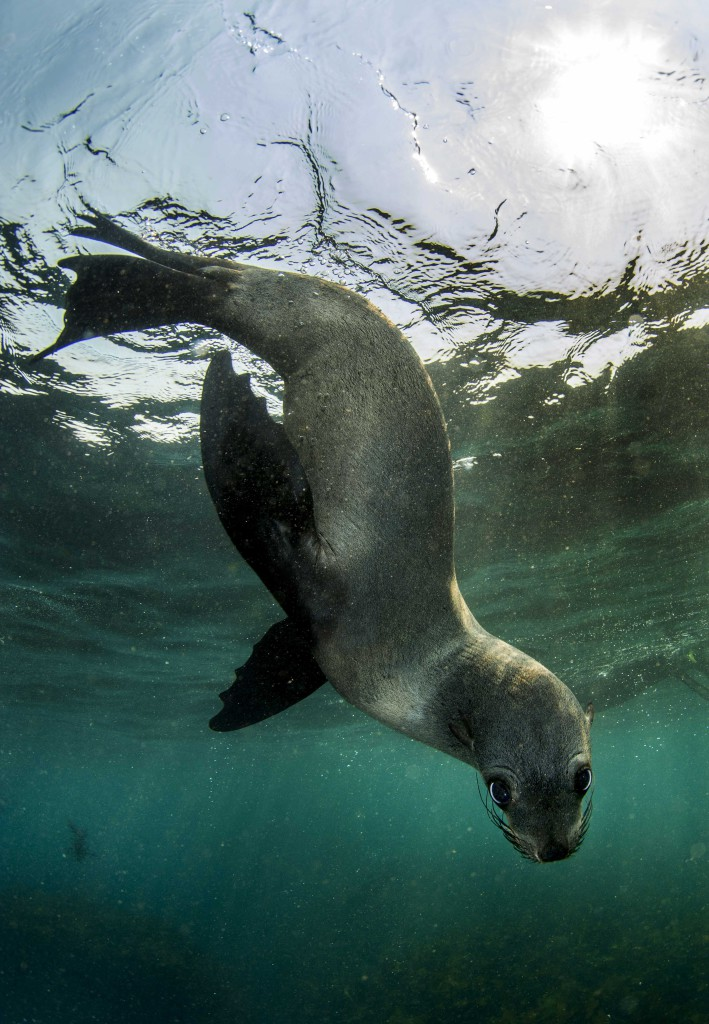 Seal snorkelling Image © Geoff Spiby