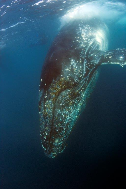 Humpback whales image © Geoff Spiby