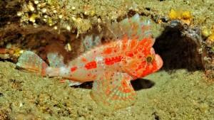 Figure 4 Waspfish