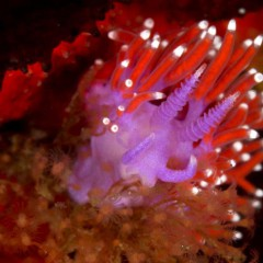 Nudibranchs the most gorgeous marine animals keep scuba divers fascinated