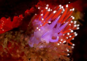 a purple lady (Flabellina funeka) eating its hydroid prey