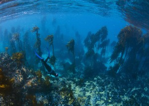 Kelp Forest image © Geoff Spiby