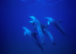 bottlenose dolphins  image © Geoff Spiby