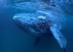 Southern right whale image © Geoff Spiby