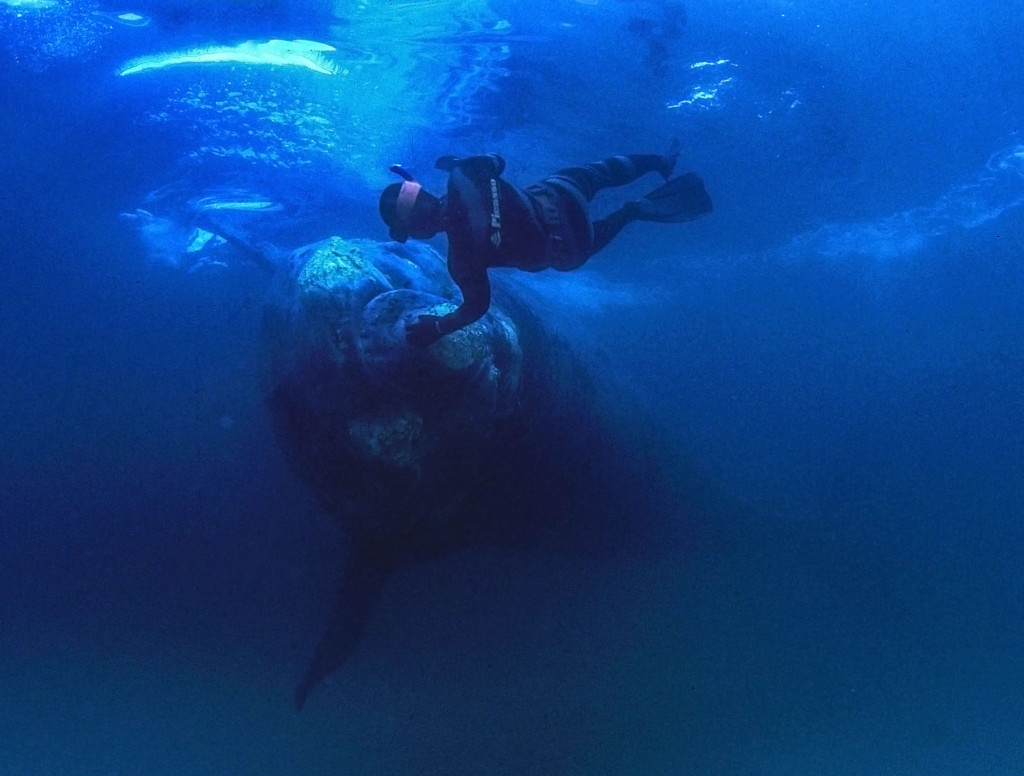 A diver and a southern right whale ©Geoff Spiby