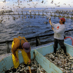 Is Fish Farming the Solution to Over Fishing?
