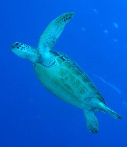amanzi-georgina-turtle