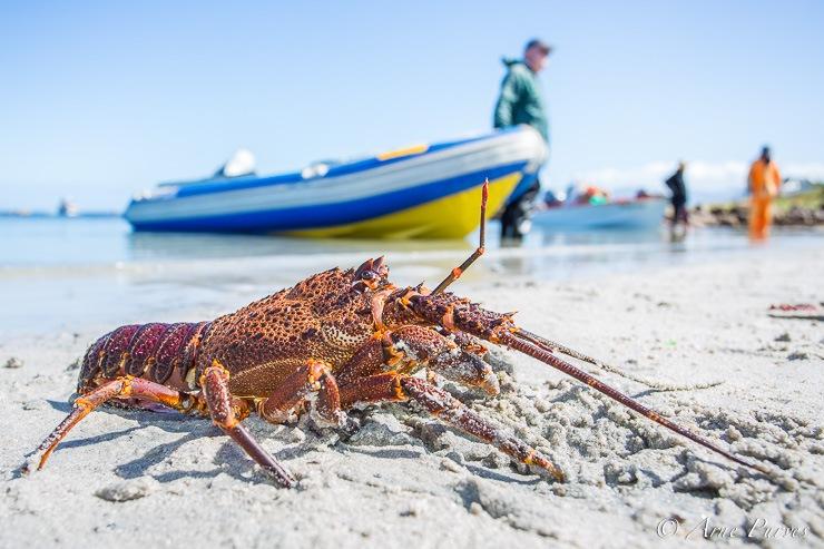 fish west-coast-rock-lobster-season-
